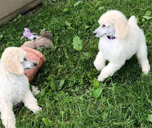 The Poodle Club of Lehigh Valley Pennsylvania